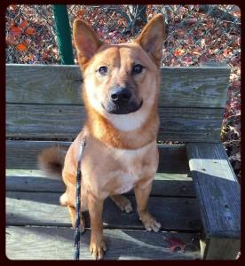 Adopt Beau: Monmouth County SPCA - Eatontown, NJ