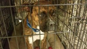 Adopt Lady:  Somerset Regional Animal Shelter - Somerset, NJ        .