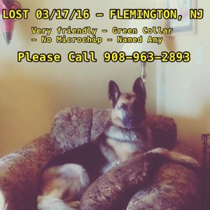 Dog Lost in Flemington, New Jersey
