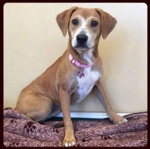 Adopt Amber - Monmouth County SPCA – Eatontown, NJ